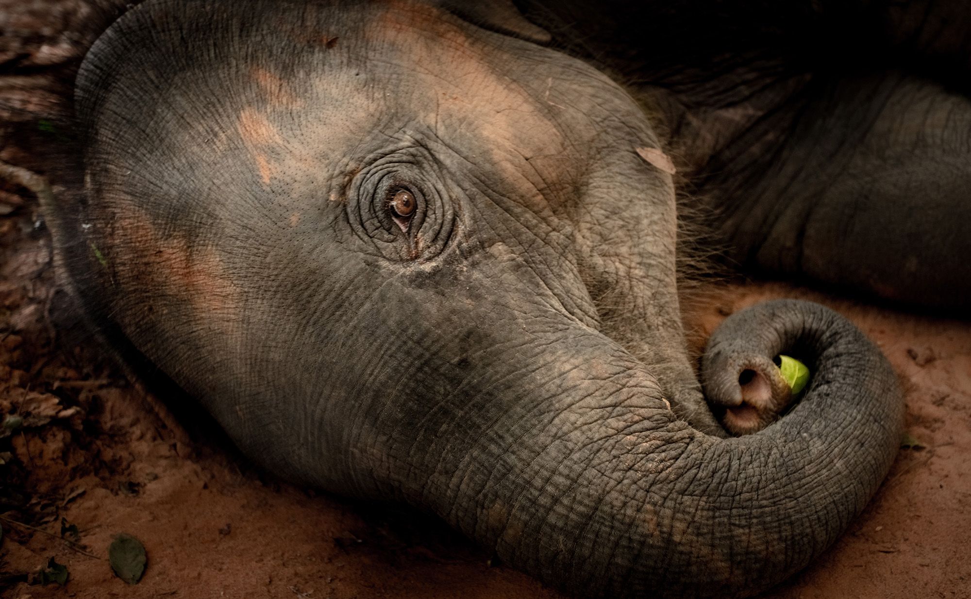 Saving starving elephants in Asian sanctuaries and parks