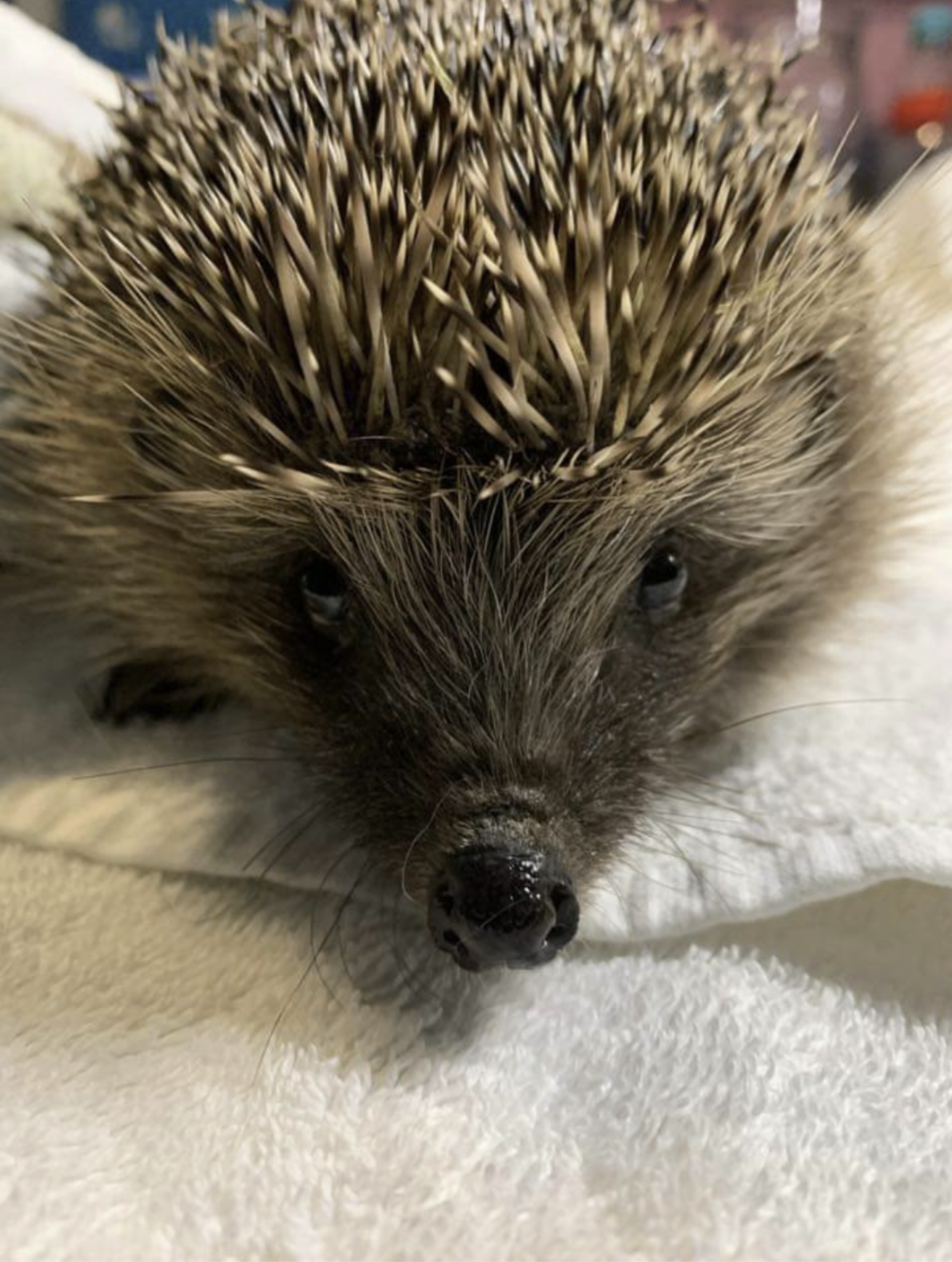 Save Our Hedgehogs! Wildlife Rescues Warn of Danger to Hedgehogs from Strimmers as Peak Gardening Season Arrives