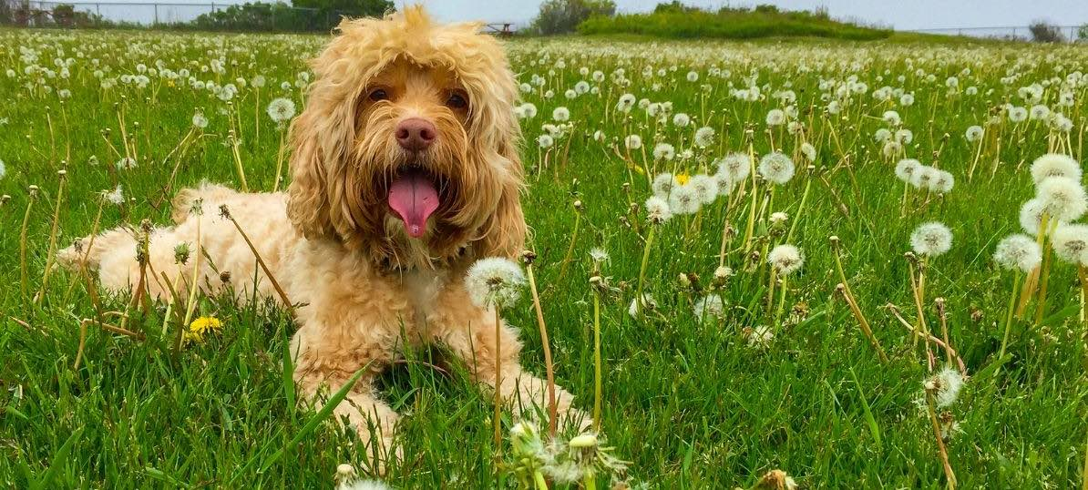 Moment to Paws: The Cockapoo sees largest relative growth during lockdown